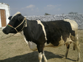 crossbred cow pakistani