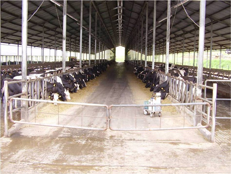 indonasian dairy farm