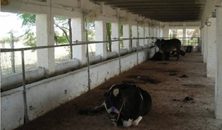dairy shed with outside feeding
